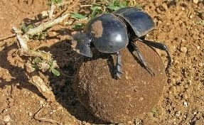 Beetle Mania- Dung Beetles in Africa