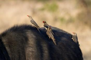 Oxpeckers-busy birds and groomed game