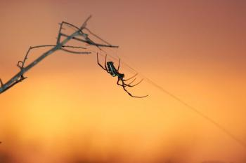 Arachnid Alchemy- Golden Orb Spiders